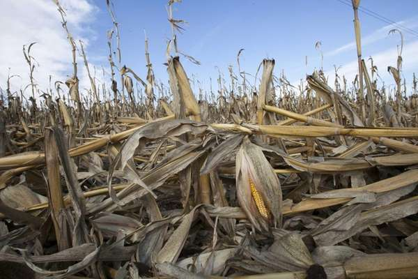 Corn plants weakened by the drought lie on