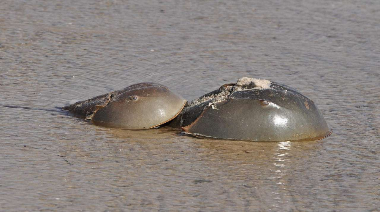 State regulators consider restricting horseshoe crab harvest