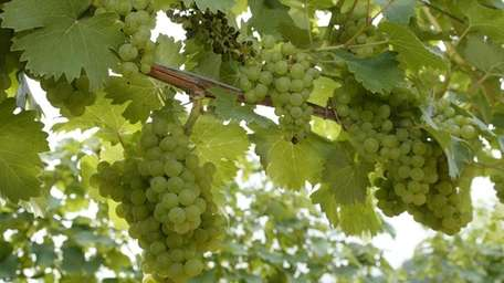 Riesling, the queen of white grapes?