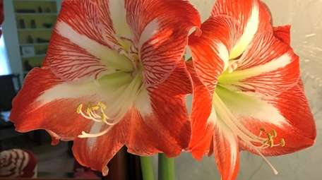 The common species of holiday amaryllis is a