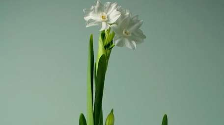 Paperwhite bulbs traditionally are
