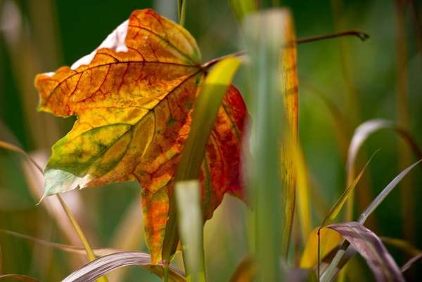 A colored maple leaf lays in the grass
