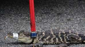 A second alligator was captured by Nassau County