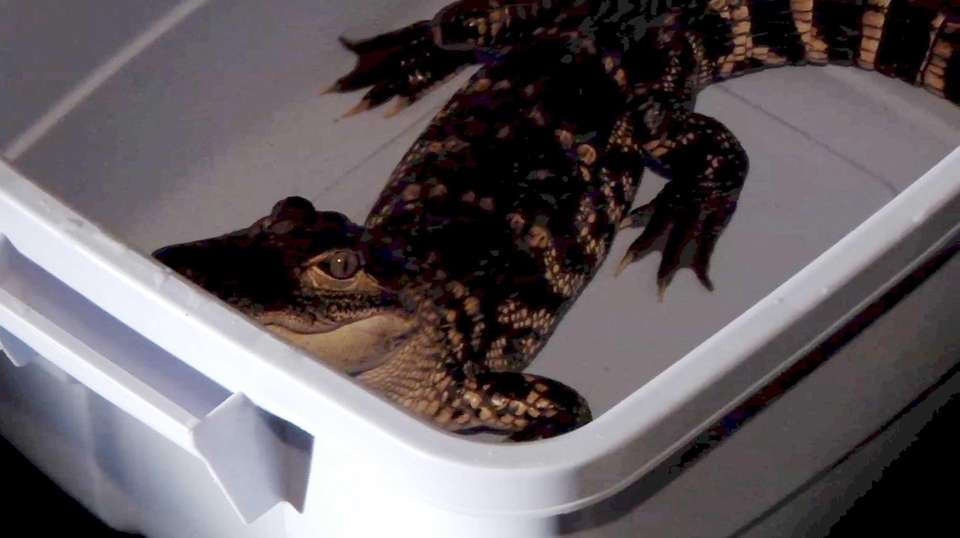 This 3-foot alligator was found in a plastic