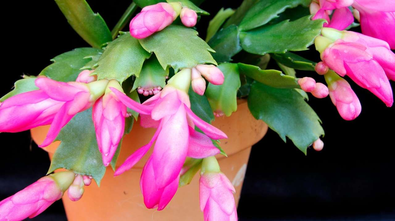 How to care for your Christmas cactus and poinsettia