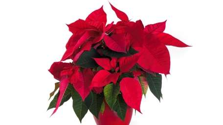 To form buds, poinsettias should be deprived of