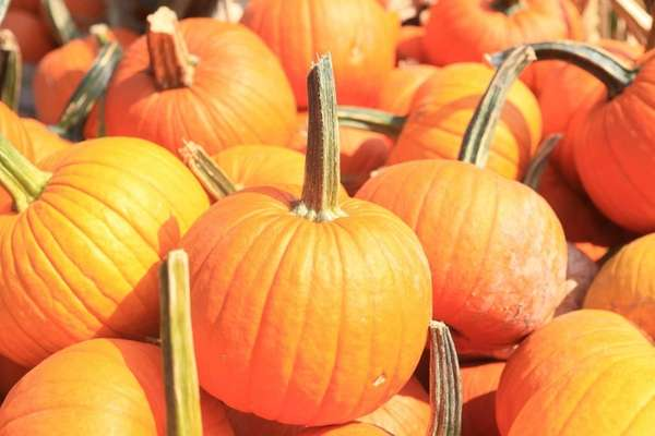 Pumpkins at Dr. Davies Farm in Congers, just