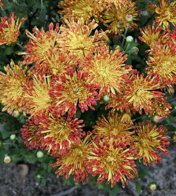 Chrysanthemum 'Matchsticks' lend great fall color.