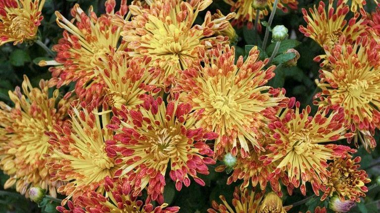 Chrysanthemum 'Matchsticks' lend great fall color.