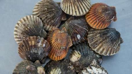 Peconic Bay scallops have seen mortality rates of