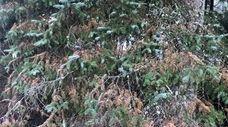 This spruce tree exhibits symptoms of Rhizosphaera needle