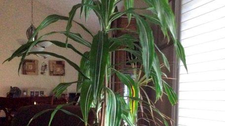 The leaves on Linda Cortes'  Dracaena plant