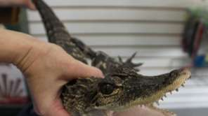 A 33-inch long alligator is held by a