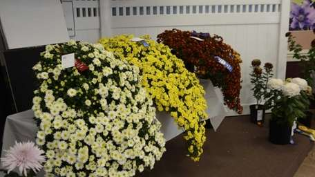 Three cascading chrysanthemums are displayed at the 58th