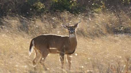There are about 400 white-tailed deer on Fire