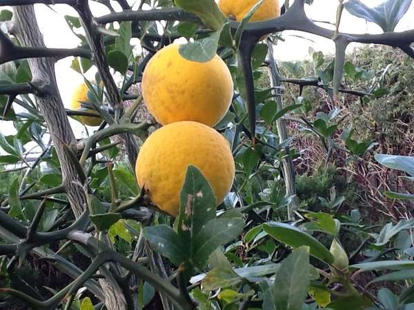 Trifoliate orange growing in reader Mario Facinelli's Northport