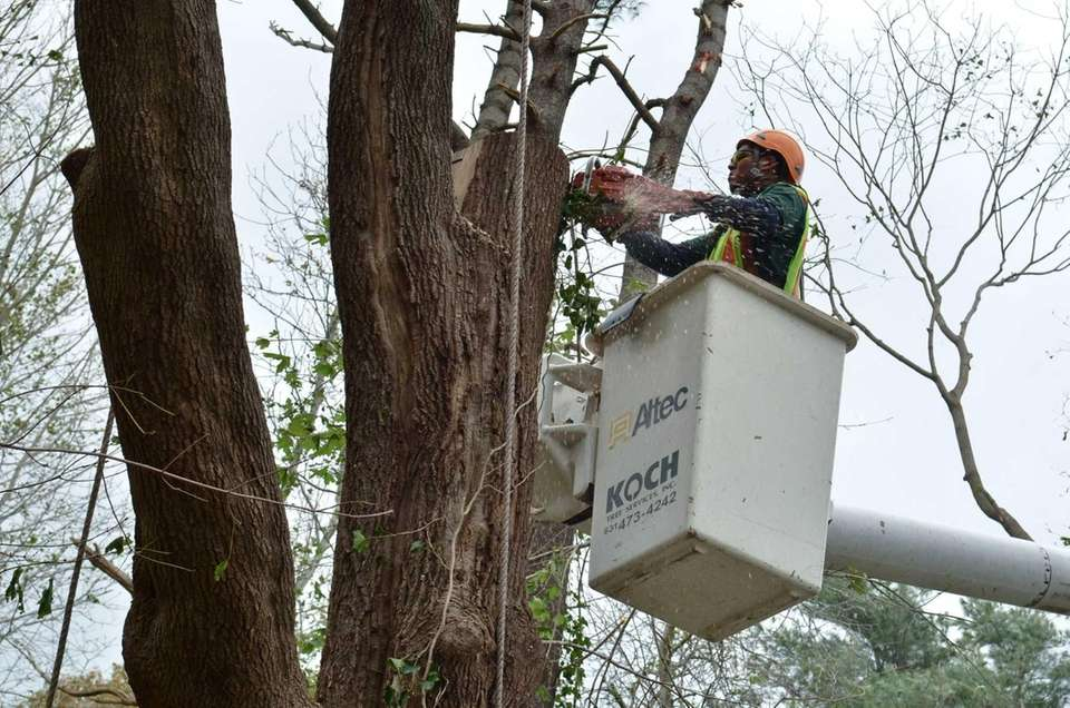 Elvin Vasquez, of Koch Tree Service, works to