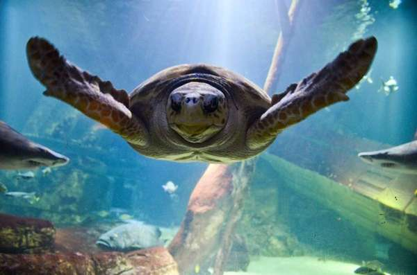 Jaws, a 28-year-old loggerhead sea turtle, swims at