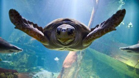 Jaws, a 28-year-old loggerhead sea turtle, swims at