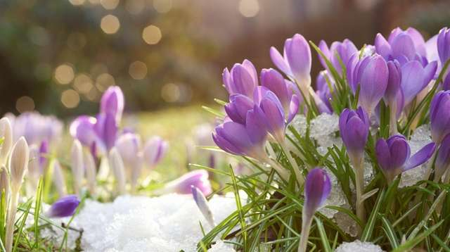 Crocuses are among the perennials sturdy enough to