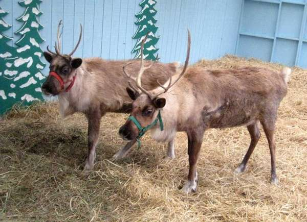See reindeer at Hicks Nurseries, 100 Jericho Tpke.,