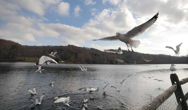 Seagulls fly in Cold Spring Harbor. (Nov. 18,