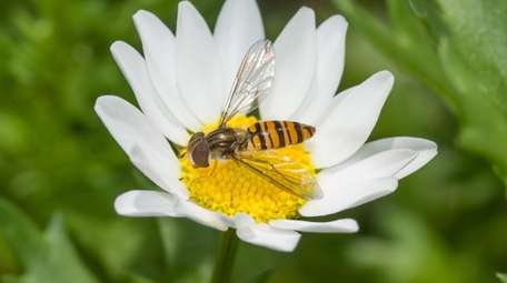 Hoverfly on a white flower macro in bright