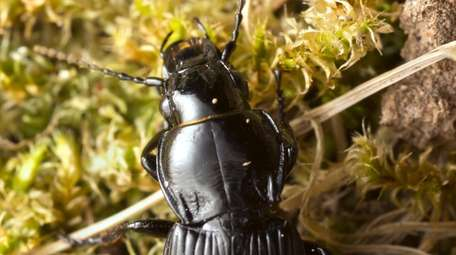 This beetle belongs to the family groundbeetles, carabidae.