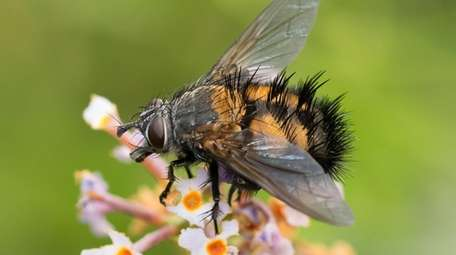 Parasitic fly on a flower.