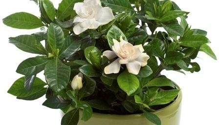 Gardenias ( Gardenia jasminoides) are beautiful and beautifully