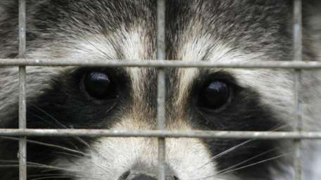 A captured raccoon peers through the bars of