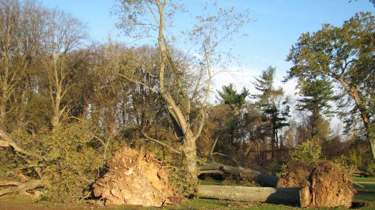 Uprooted and toppled trees destroyed the formation of