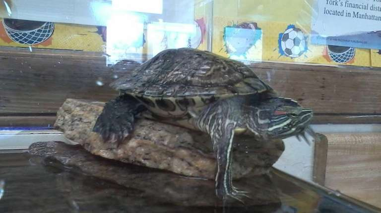 Slippy the Turtle, a class pet at Oceanside