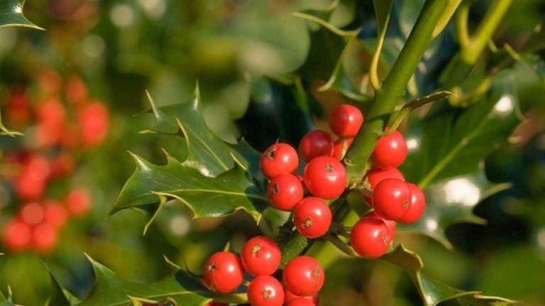 Holly tree with berries. Photo Credit: iStock