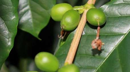 A 40-year-old coffee plant growing in reader Barbara