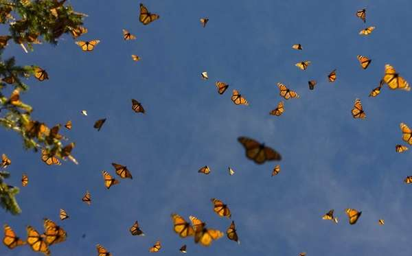 Picture of monarch butterflies (Danaus plexippus) flying in