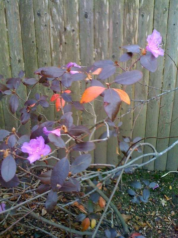 A rhododendron blooming in December in reader Steven