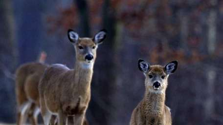 Deer pause and look up as they spend