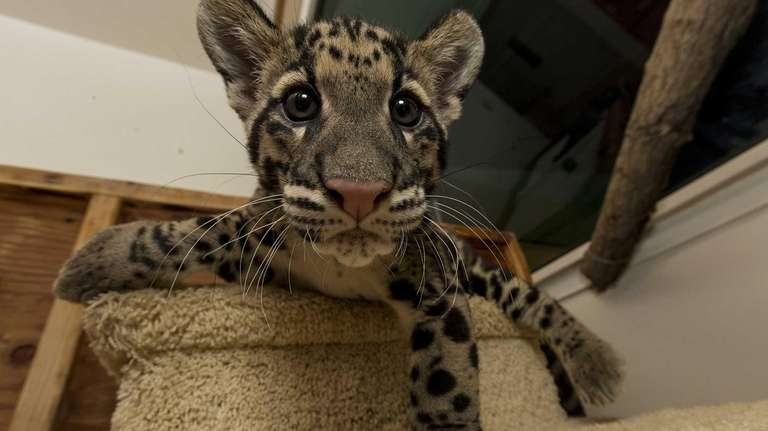 Riki-san, a 14-week-old clouded leopard, makes his public