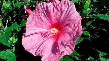 Hibiscus moscheutos 'Disco Belle Pink' is one of