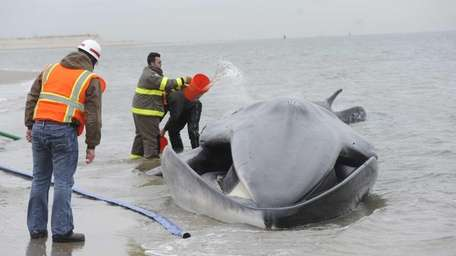 Beached whale in Breezy Point Volunteers pour water