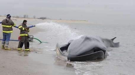 Volunteers pour water on a beached whale to