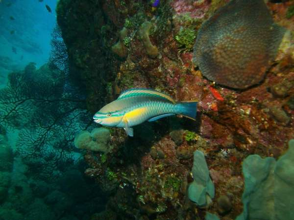 A princess parrotfish in the Saba Marine Park