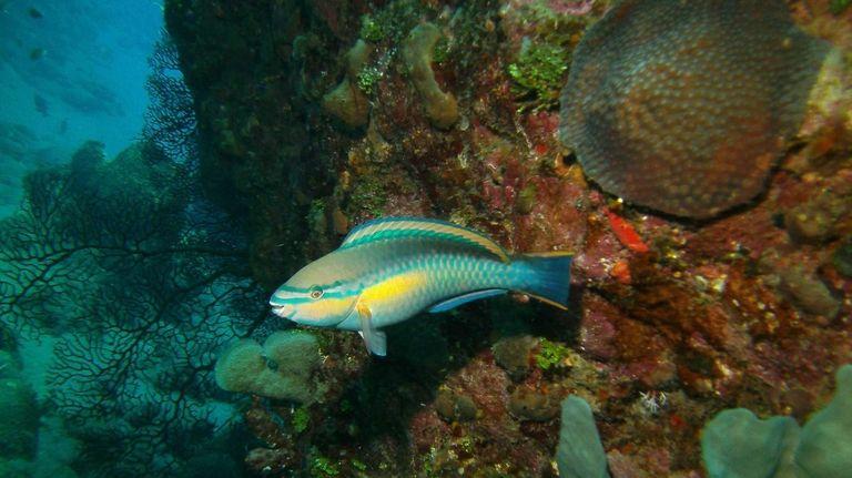 A princess parrotfish in the Saba Marine Park