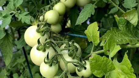 Chris Petersen of Asharoken grows tomatoes in large