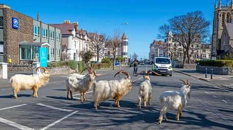 A herd of goats walk the quiet streets