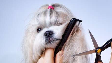 Shih tzu dog getting groomed with comb and