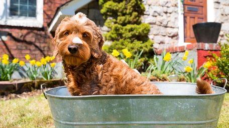 Miniature goldendoodle taking a bath outdoors.