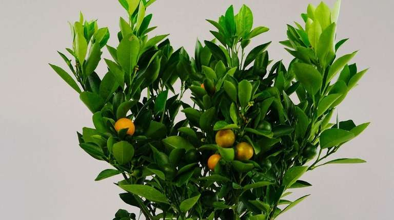 Now you can grow a citrus tree right