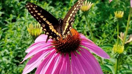A butterfly visits a purple coneflower in Anthony